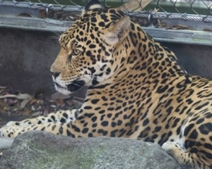 美動物園美洲豹逃脫咬死八隻動物