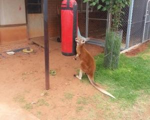 澳洲袋鼠後院狂揼沙包
