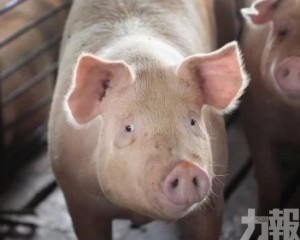 豬肉商轟政府橫蠻屠殺「無病豬」