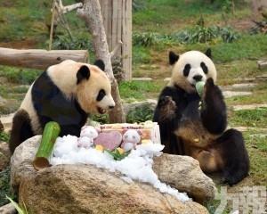 大熊貓「健健」「康康」3歲生日