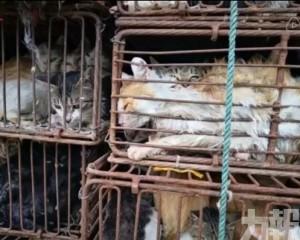 江蘇近500隻貓貓被運往肉品廠