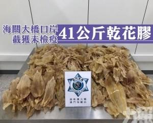 海關大橋口岸截獲未檢疫41公斤乾花膠