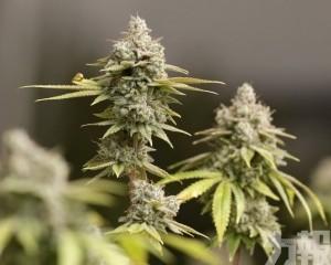 盧森堡將成歐洲首個大麻合法化國家