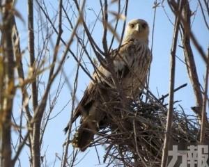 罕有鳥類!寧夏首現白肩雕和角鸊鷉