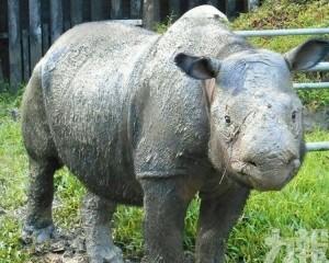 馬來西亞最後一頭蘇門答臘犀牛病逝