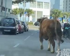 有片!青洲屠房疑有活牛走失四處遊盪
