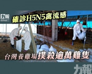 台灣養雞場撲殺逾萬雞隻