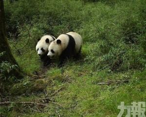 臥龍首次拍到野生亞成體雙胞胎熊貓