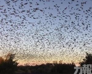 30萬「狗頭蝙蝠」席捲澳洲上空