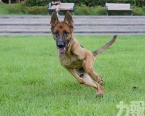 一隻德國狼狗對新冠病毒呈陽性反應