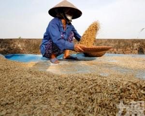 越南將收儲27萬噸稻米並停止出口