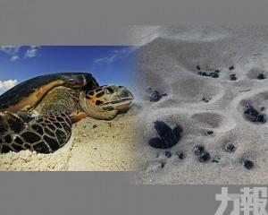 海龜回岸築巢量創20年新高