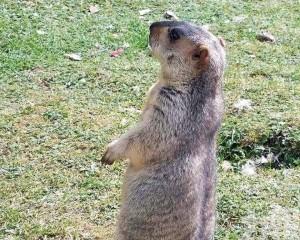 水塘公園捕獲土撥鼠心臟衰竭亡