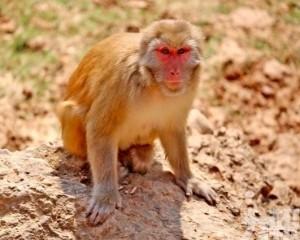 野生獼猴遭圍殺烹食