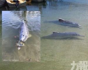 澳洲海豚頻浮水面送「大禮」 原因竟是...