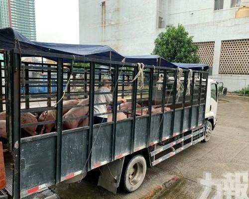 明後兩日供澳活豬減少至170隻