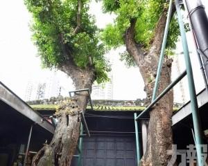 古樹名木保護名錄公布更新