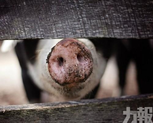廣東雷州現豬口蹄疫情