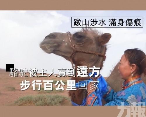駱駝步行百公里回家