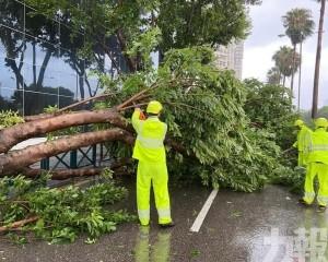 市政署:清理逾4,600株樹木