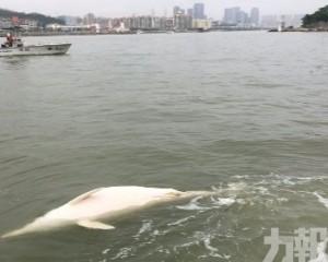路環譚公廟對開發現海豚屍體