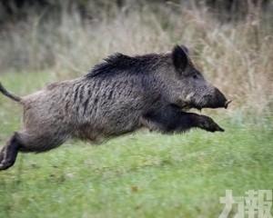 德國出現首宗非洲豬瘟