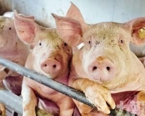 日本暫停進口德國豬肉和生豬