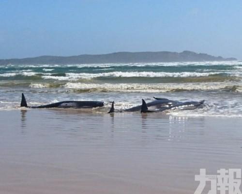 澳洲塔斯馬尼亞270條鯨魚擱淺 至少90死