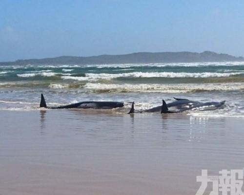 有領航鯨獲救放生再擱淺 逾7成死亡