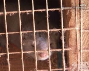 美國上萬隻水貂感染新冠死亡