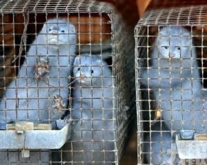 丹麥將撲殺全國1,700萬隻水貂
