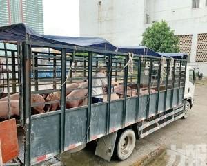 鮮豬肉供市場時間稍有延後