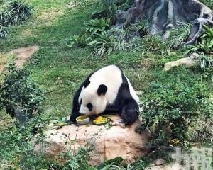大熊貓館初一至初十免費開放