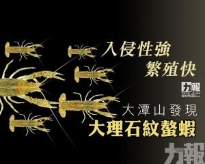 大潭山發現大理石紋螯蝦