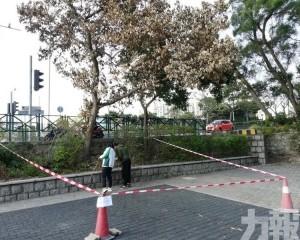 市政署移除感染根腐病有倒塌風險的陰香樹