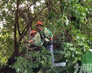 跨部門協作保育珍貴古樹