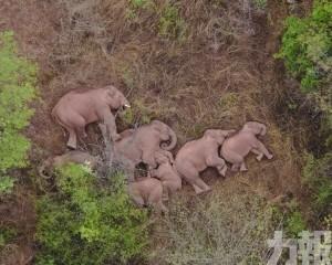網民:原來大象是躺著睡覺的!