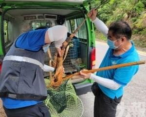 市政署路環捕捉美洲鬣蜥 籲勿非法放生及棄養外來生物