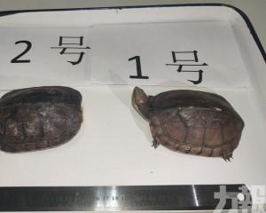 涉案石金錢龜為國家二級保護動物