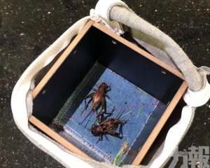 旅客帶22隻活蟋蟀過境未申報